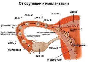 Как происходит зачатие ребенка по дням после овуляции