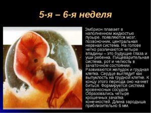 5 неделя беременности эмбриональная