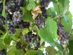 Можно ли виноград кормящей маме