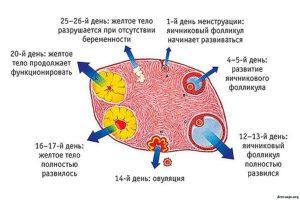 Желтое тело сколько живет после овуляции