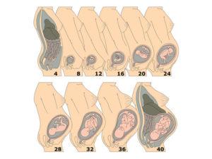 Расположение плода на 19 неделе беременности
