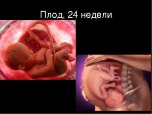 24 неделя беременности от зачатия