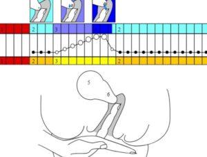 Во время овуляции шейка матки