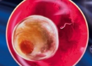 Плод 2 недели беременности