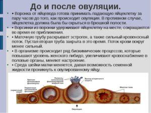 Сколько в организме живет яйцеклетка после овуляции