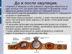 Через сколько происходит оплодотворение после овуляции