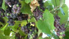 Можно ли зеленый виноград кормящей маме