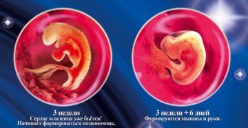 Эмбрион на 2 неделе беременности