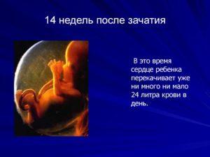 14 неделя от зачатия беременности