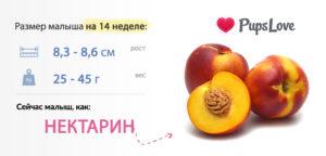 Размер ребенка в 14 недель беременности